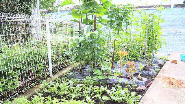 夏は野菜も育てています